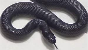 King Black Snake | www.pixshark.com - Images Galleries ...