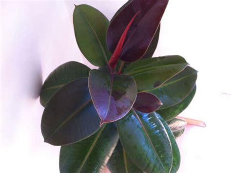 rubber plant ficus elastica rubber plant our house plants