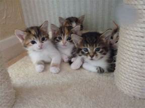 adorable kittens for epping essex pets4homes