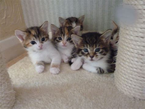 Kittens For Sale by Adorable Kittens For Sale Epping Essex Pets4homes