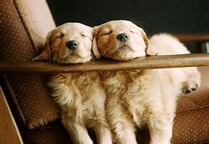 Golden Retriever Puppies Sleeping