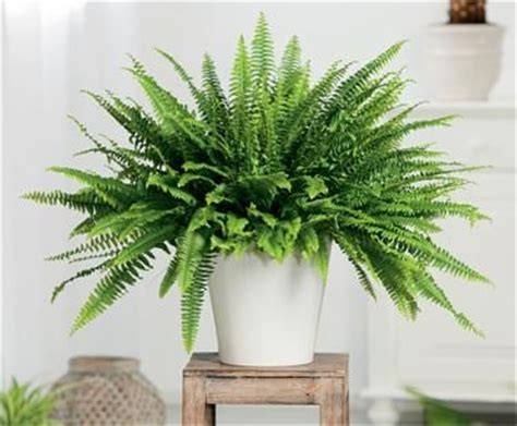 low light ferns boston fern indoor low light house plants bringing color and gr