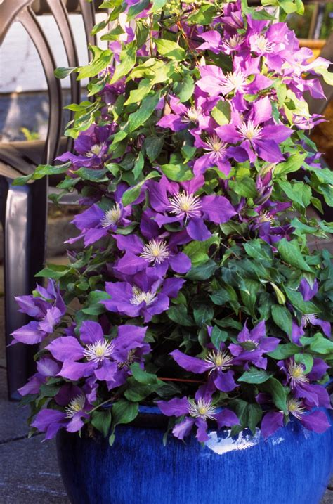 can i grow clematis in a pot clematis chevalier hardy 2 year plants 2 litre pot ebay
