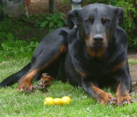 38 best images about beauceron on great deals working dogs and sheep