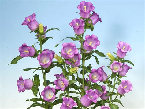 Glockenblume Rosa by Fotos Rosa Farbe Blumen Glockenblumen Viel Gro 223 Ansicht