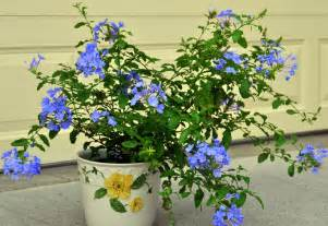 Tropical Plants with Blue Flowers