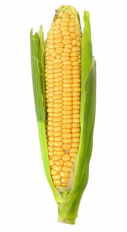 Corn Purepng Transparent Sweet Maize Vegetables Background