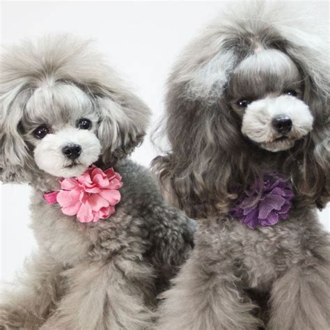 poodles   hairstyles