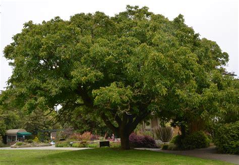 walnut tree how to grow the walnut tree the garden of eaden