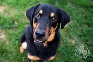 lab rottweiler mix 100 - Lab Rottweiler Mix | Dogs ...