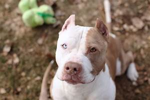 Elmo - Edmonton & Area Pitbull Rescue – Pitbulls for Life ...