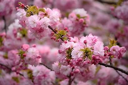 Spring Blossoms Wallpapers Desktop Pink Downloads Trends