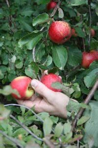 Wann äpfel Ernten : wann sind pfel reif ~ Lizthompson.info Haus und Dekorationen