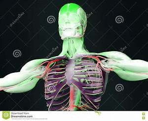 Human Anatomy Torso Stock Illustration  Illustration Of