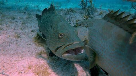 grouper face