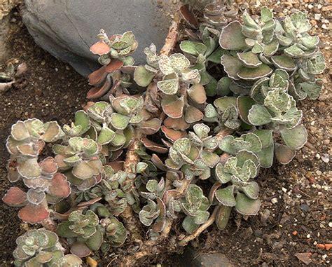 types of kalanchoe kalanchoe crassulaceae