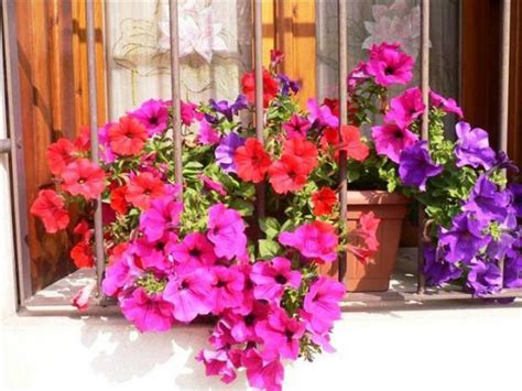 beautiful backyard ideas  growing petunias  containers