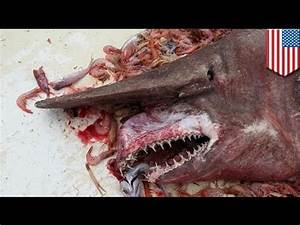 Rare, grotesque goblin shark caught off Key West ...