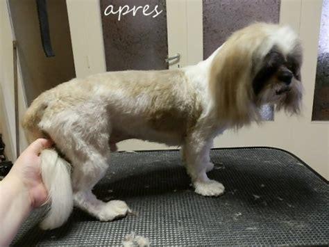 comment toiletter un shih tzu 28 images toilettage d un shih tzu au rendez vous canin coupe