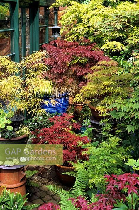 best japanese maples for containers gap gardens spectacular japanese maples growing in glazed containers some raised up on old