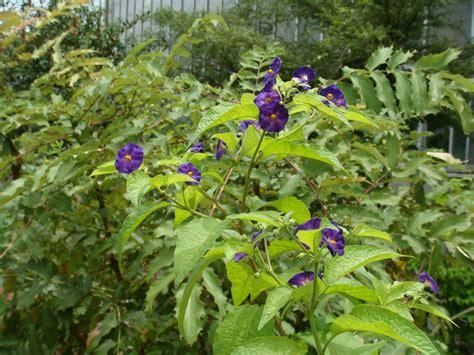 Solanum lycioides L.