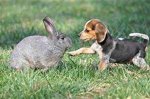 How to Train Your Beagle:Successful Rabbit Hunting in 5 Steps