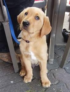 Golden Retriever/Labrador Retriever Mix - I think this ...