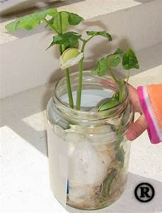 Easy Science Project For Kids  How To Grow A Lima Bean
