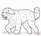 Coloring Dog Portuguese Chihuahua Printable Dogs Cockapoo Chow Pinscher Miniature Adult Pomeranian Drawing Sheets Puppy Drawings Sharpei Australian Apso Getcolorings sketch template