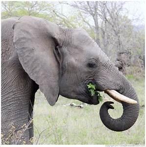 Elephant eating leaves. (Photo ID 21018-timbavat)