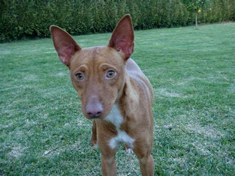 andalusian hound podenco dog andaluz dogs breed breeds hunting puppies mix pharaoh canario pets puppy barger feist well balanced alive