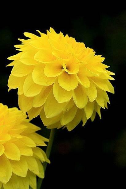 Yellow Flowers Flower Dahlia Pretty Enticing Explored