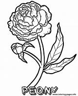 Coloring Flower Peony Printable Magic sketch template