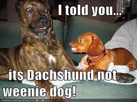 Weiner Dog Meme - dachshund meme