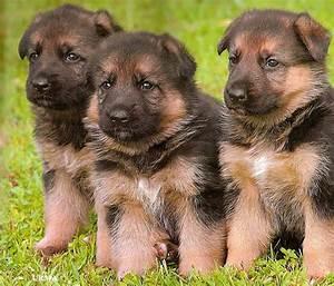 German Shepherd dogs and puppies: German Shepherd puppies