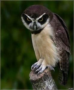 Spectacled owl | Owls | Pinterest