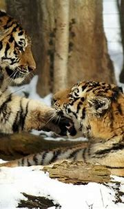 Tiger Snow Cat Young · Free photo on Pixabay