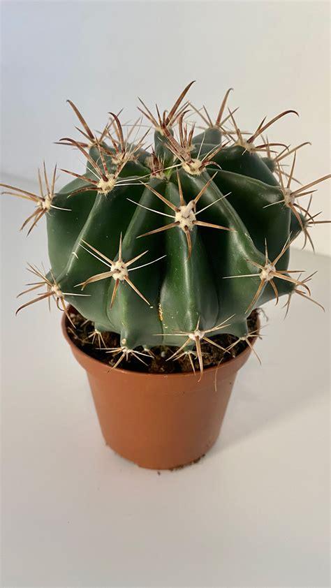 Histix Cactus - Indoor Plants | Plantshop.me