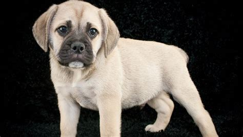 For homeowners policies effective 10/15/19 and later. Beabull Mixed Dog Breed Pictures, Characteristics, & Facts