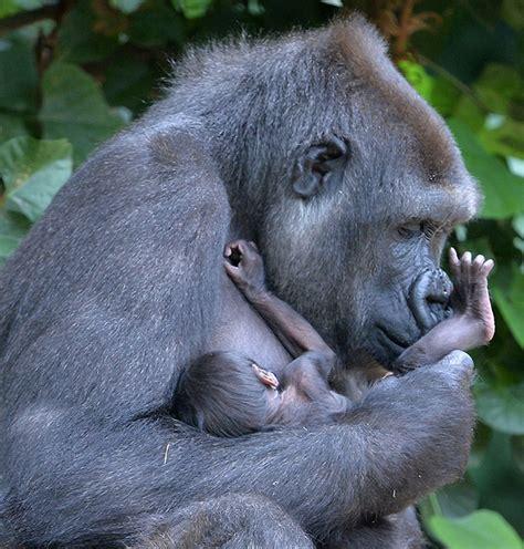 Bronx Zoo Baby Gorillas