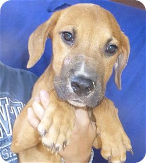 Permalink to Rhodesian Ridgeback Puppy Rescue Florida