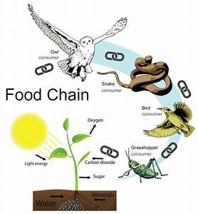 Food Chains And Food Webs Flashcards By Proprofs