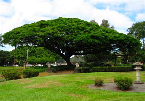 canap tress the big canopy tree at liliuokalani garden hilo hawaii