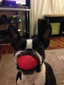 20 Reasons Boston Terriers Are Actually The Worst Dogs To ...