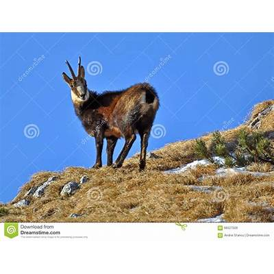 Alpine chamois in Italy - Explore more about the Wild