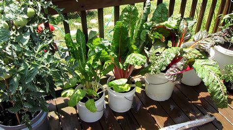 grow large tomatoes  containers  rusted