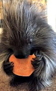 Cute Baby Animals Porcupine