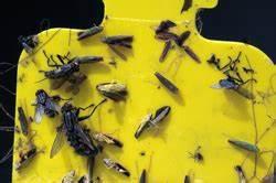 Gelbe Tafeln Schädlinge : biotechnische sch dlingsbek mpfungsmittel ~ Lizthompson.info Haus und Dekorationen