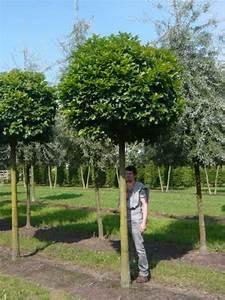 Kugelbäume Immergrün Winterhart : quercus palustris 39 green dwarf 39 kugelsumpfeiche 39 green dwarf 39 nadel eiche 39 green dwarf ~ Watch28wear.com Haus und Dekorationen
