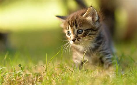 Cat Animal Wallpaper - baby cat wallpapers baby animals